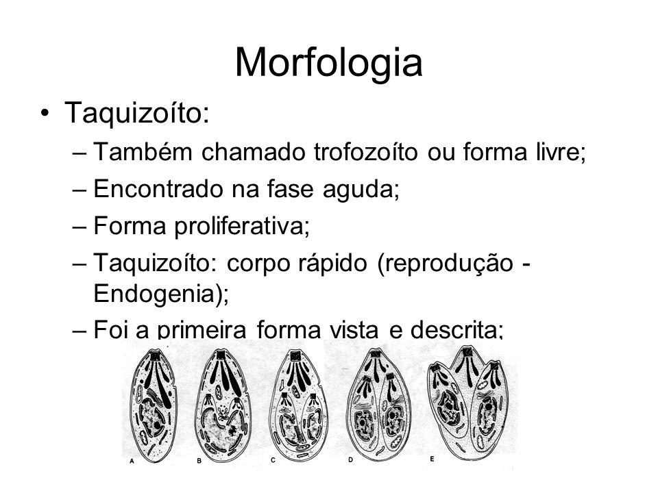 Morfologia •Taquizoíto: –Também chamado trofozoíto ou forma livre; –Encontrado na fase aguda; –Forma proliferativa; –Taquizoíto: corpo rápido (reprodu