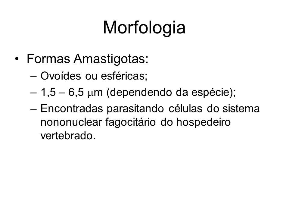 Morfologia •Formas Amastigotas: –Ovoídes ou esféricas; –1,5 – 6,5  m (dependendo da espécie); –Encontradas parasitando células do sistema nononuclear