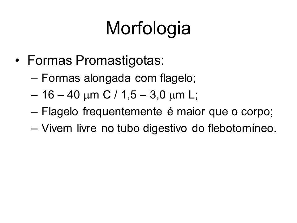 Morfologia •Formas Promastigotas: –Formas alongada com flagelo; –16 – 40  m C / 1,5 – 3,0  m L; –Flagelo frequentemente é maior que o corpo; –Vivem