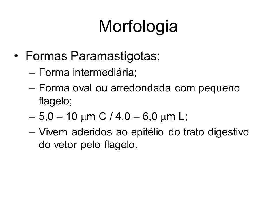 Morfologia •Formas Paramastigotas: –Forma intermediária; –Forma oval ou arredondada com pequeno flagelo; –5,0 – 10  m C / 4,0 – 6,0  m L; –Vivem ade