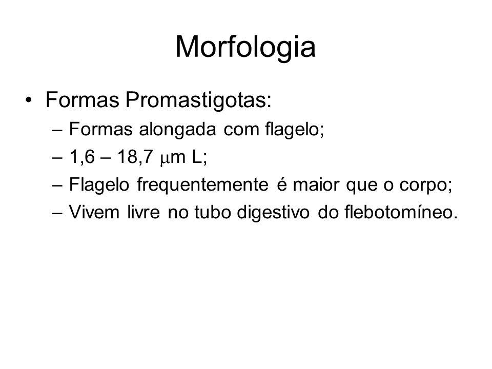 Morfologia •Formas Promastigotas: –Formas alongada com flagelo; –1,6 – 18,7  m L; –Flagelo frequentemente é maior que o corpo; –Vivem livre no tubo d