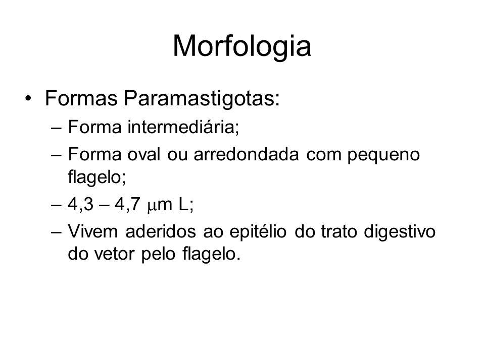 Morfologia •Formas Paramastigotas: –Forma intermediária; –Forma oval ou arredondada com pequeno flagelo; –4,3 – 4,7  m L; –Vivem aderidos ao epitélio