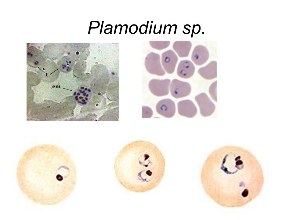 Plamodium sp.