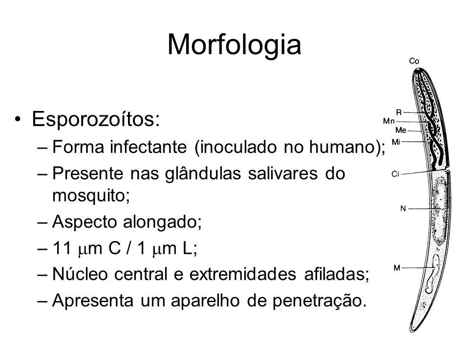 Morfologia •Esporozoítos: –Forma infectante (inoculado no humano); –Presente nas glândulas salivares do mosquito; –Aspecto alongado; –11  m C / 1  m