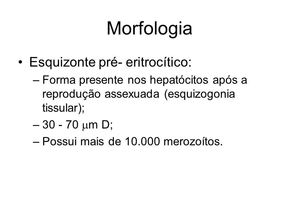 Morfologia •Esquizonte pré- eritrocítico: –Forma presente nos hepatócitos após a reprodução assexuada (esquizogonia tissular); –30 - 70  m D; –Possui