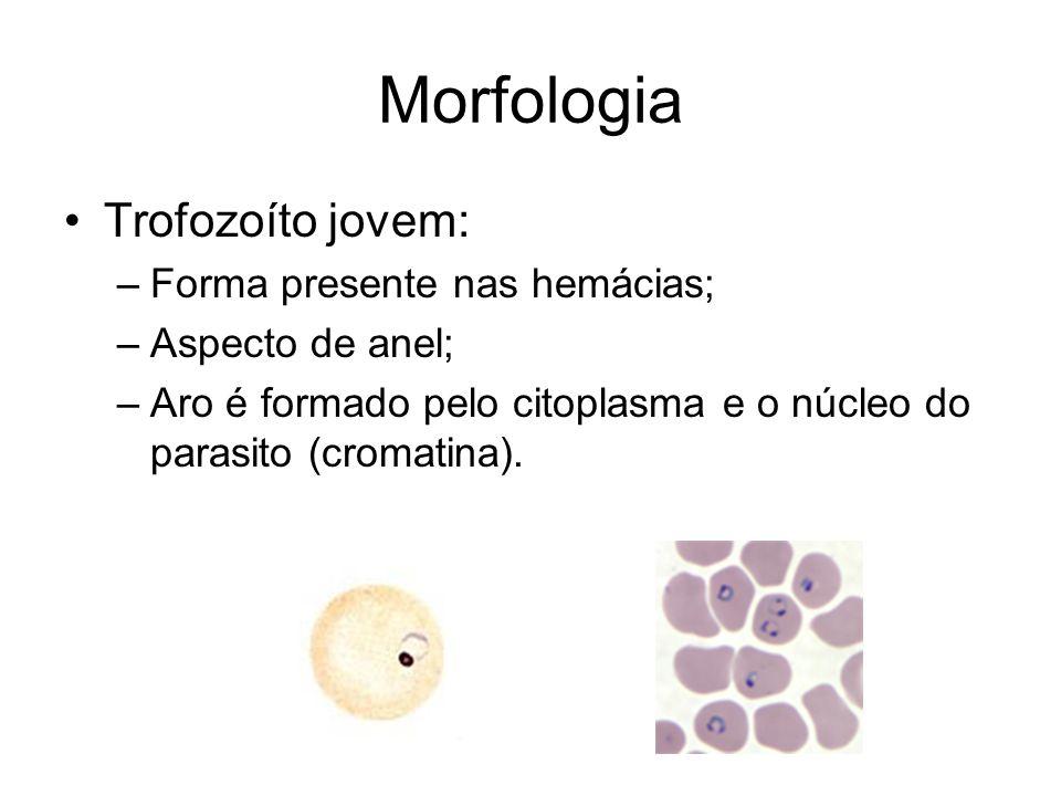 Morfologia •Trofozoíto jovem: –Forma presente nas hemácias; –Aspecto de anel; –Aro é formado pelo citoplasma e o núcleo do parasito (cromatina).
