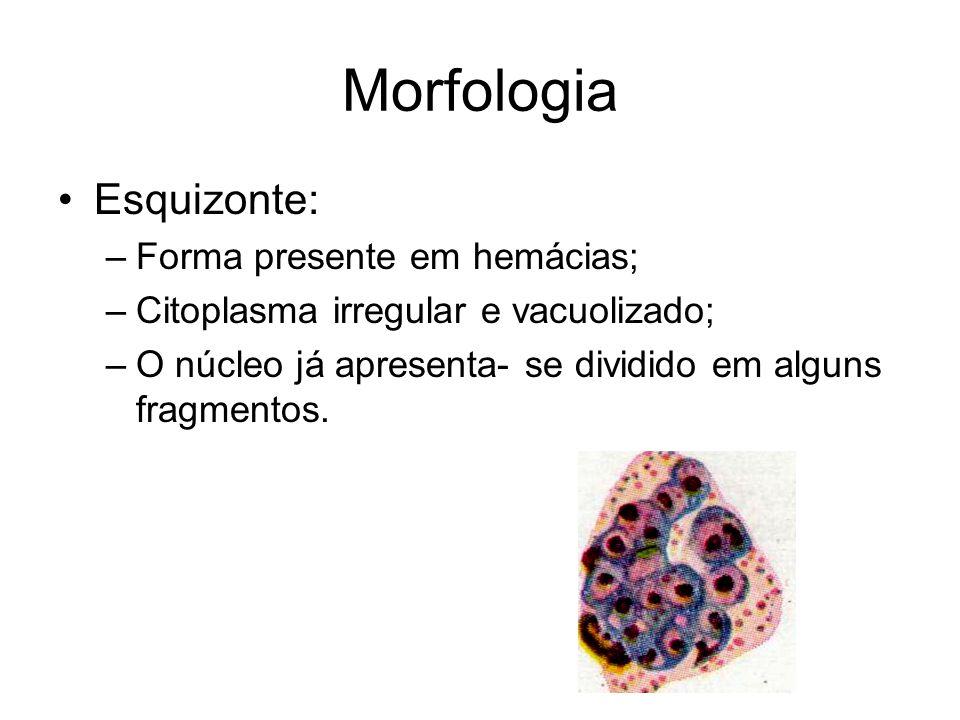 Morfologia •Esquizonte: –Forma presente em hemácias; –Citoplasma irregular e vacuolizado; –O núcleo já apresenta- se dividido em alguns fragmentos.
