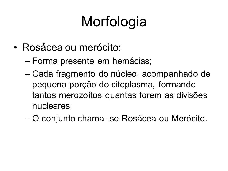 Morfologia •Rosácea ou merócito: –Forma presente em hemácias; –Cada fragmento do núcleo, acompanhado de pequena porção do citoplasma, formando tantos