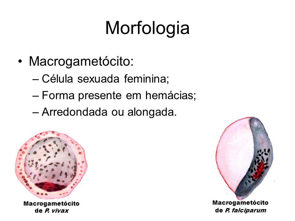 Morfologia •Macrogametócito: –Célula sexuada feminina; –Forma presente em hemácias; –Arredondada ou alongada. Macrogametócito de P. vivax Macrogametóc