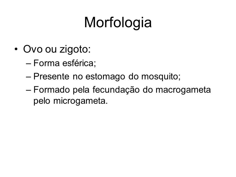 Morfologia •Ovo ou zigoto: –Forma esférica; –Presente no estomago do mosquito; –Formado pela fecundação do macrogameta pelo microgameta.