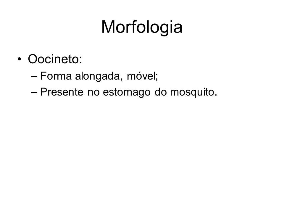 Morfologia •Oocineto: –Forma alongada, móvel; –Presente no estomago do mosquito.