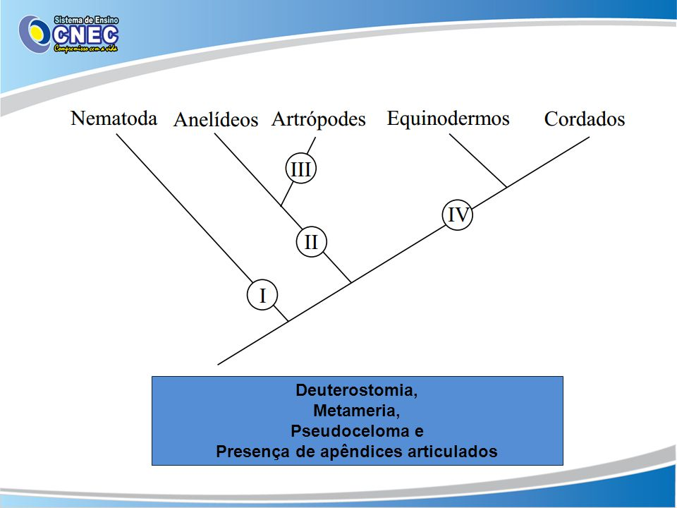 Deuterostomia, Metameria, Pseudoceloma e Presença de apêndices articulados