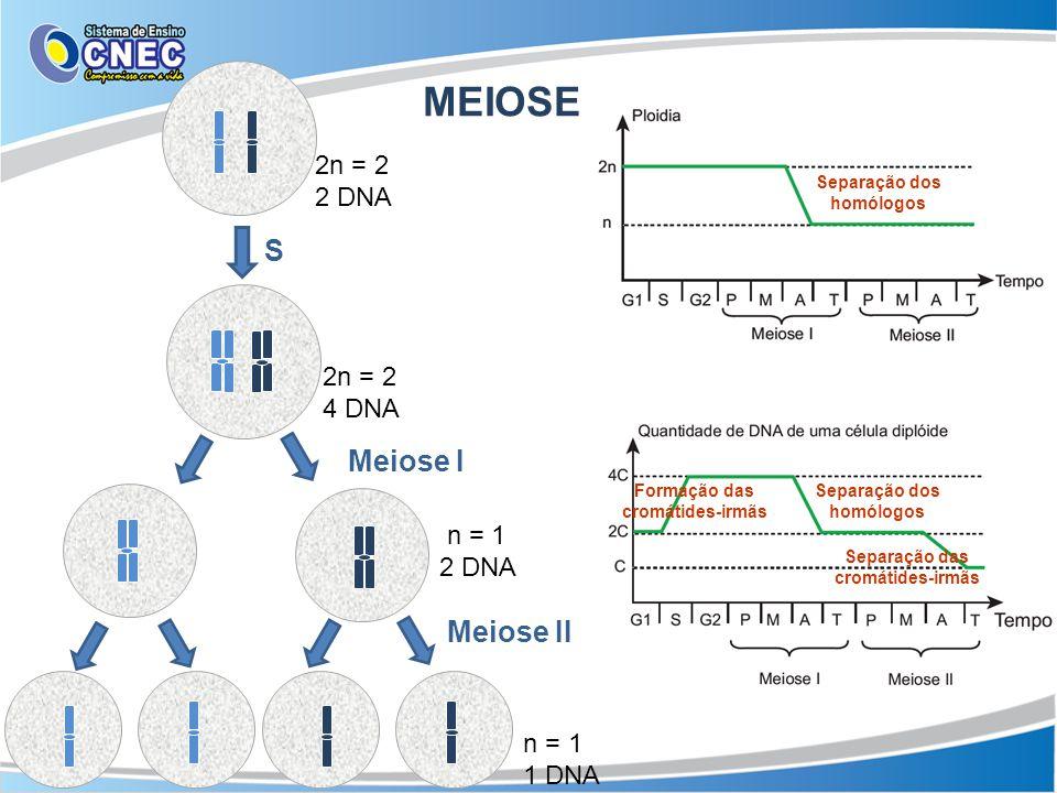 MEIOSE 2n = 2 2 DNA 2n = 2 4 DNA S Meiose I n = 1 2 DNA Meiose II n = 1 1 DNA Separação dos homólogos Formação das cromátides-irmãs Separação dos homó