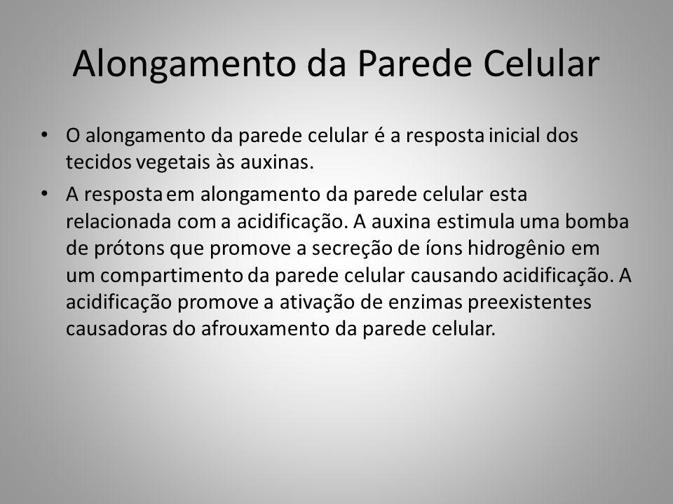 Alongamento da Parede Celular • O alongamento da parede celular é a resposta inicial dos tecidos vegetais às auxinas. • A resposta em alongamento da p