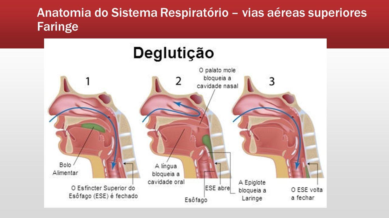 Lujoso Modelo Laringe Anatomía Etiquetado Composición - Imágenes de ...