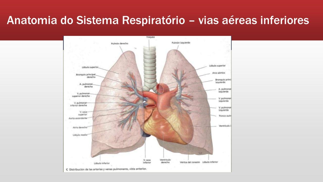 Encantador Las Vías Respiratorias Superiores Anatomía Fotos Imagen ...