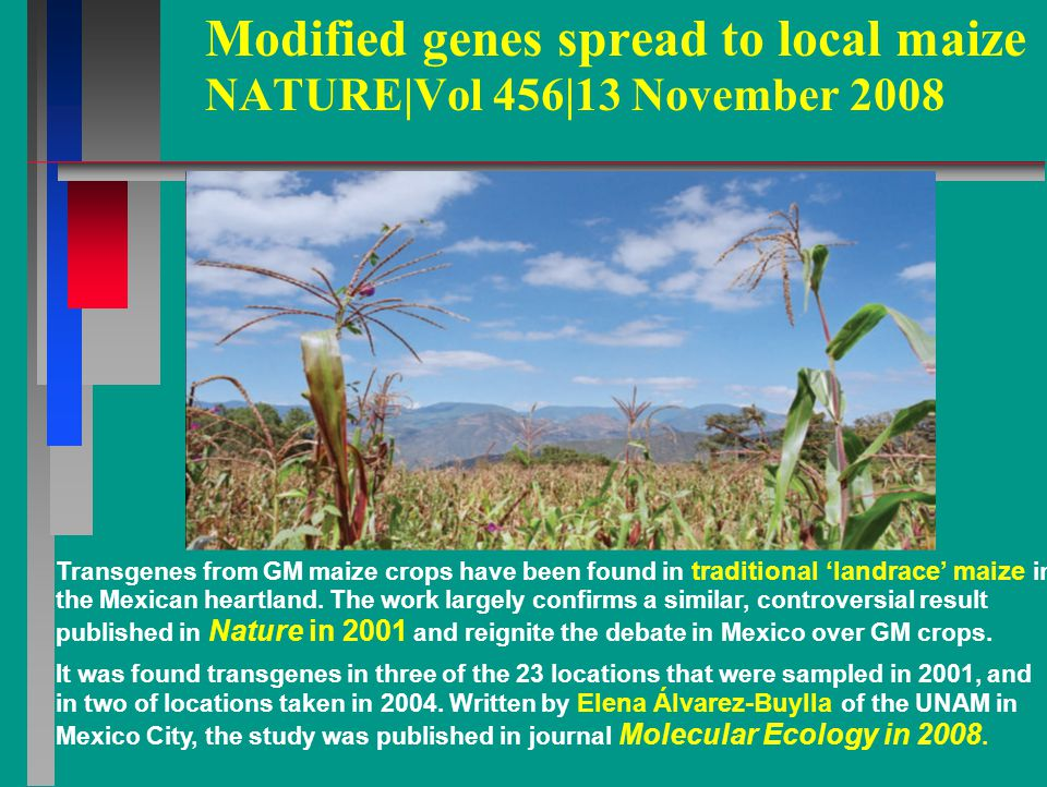 Modified genes spread to local maize NATURE|Vol 456|13 November 2008 Transgenes from GM maize crops have been found in traditional 'landrace' maize in the Mexican heartland.