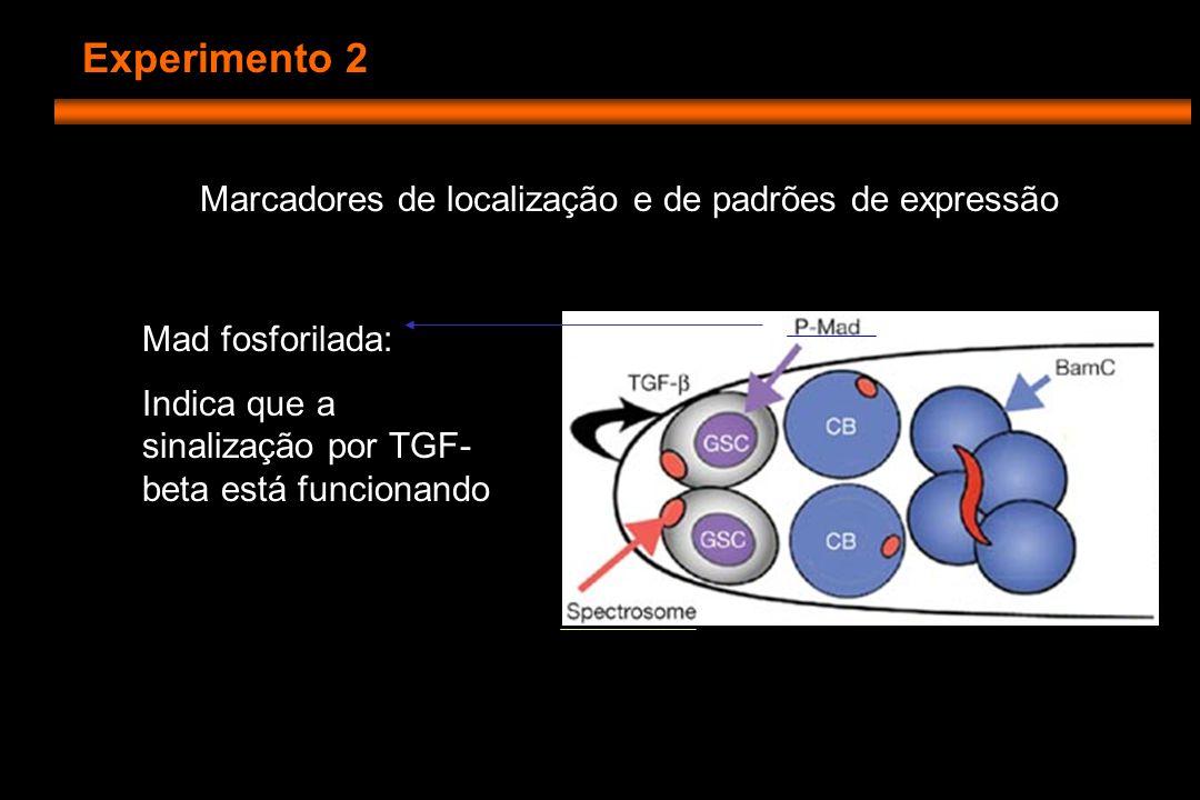 Experimento 2 Marcadores de localização e de padrões de expressão Mad fosforilada: Indica que a sinalização por TGF- beta está funcionando