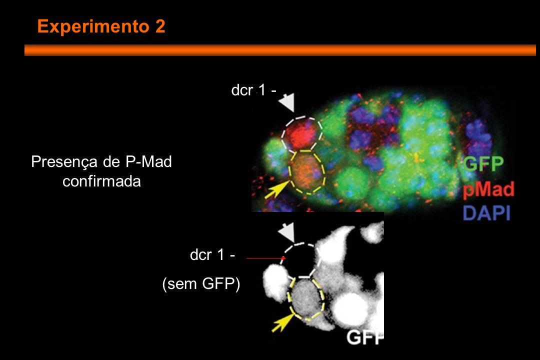 Experimento 2 dcr 1 - (sem GFP) dcr 1 - Presença de P-Mad confirmada