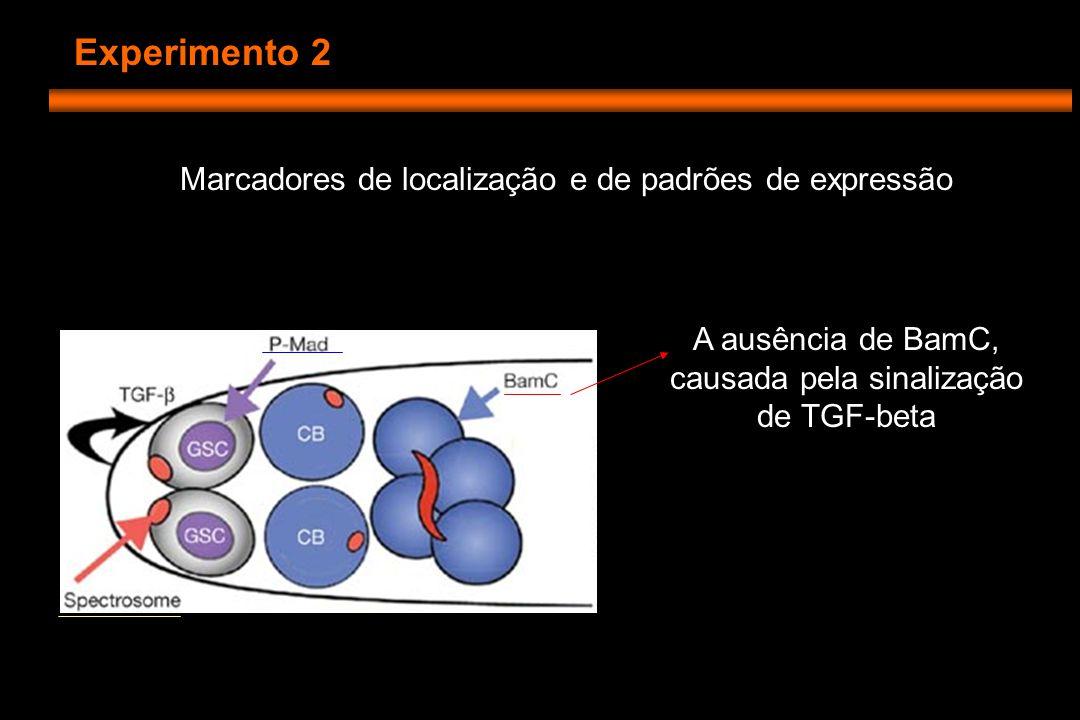 Experimento 2 Marcadores de localização e de padrões de expressão A ausência de BamC, causada pela sinalização de TGF-beta