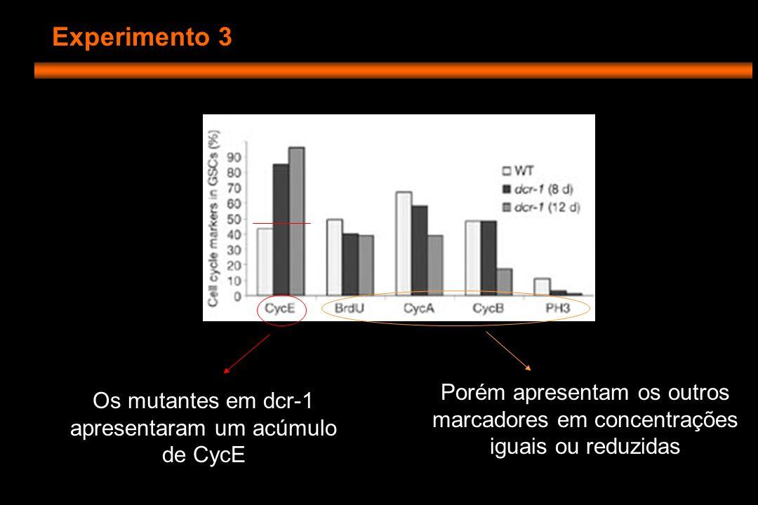 Experimento 3 Os mutantes em dcr-1 apresentaram um acúmulo de CycE Porém apresentam os outros marcadores em concentrações iguais ou reduzidas