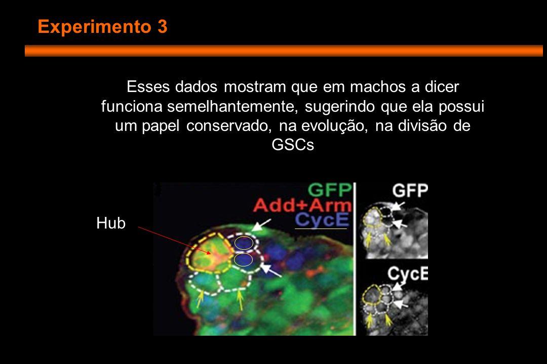 Experimento 3 Hub Esses dados mostram que em machos a dicer funciona semelhantemente, sugerindo que ela possui um papel conservado, na evolução, na divisão de GSCs