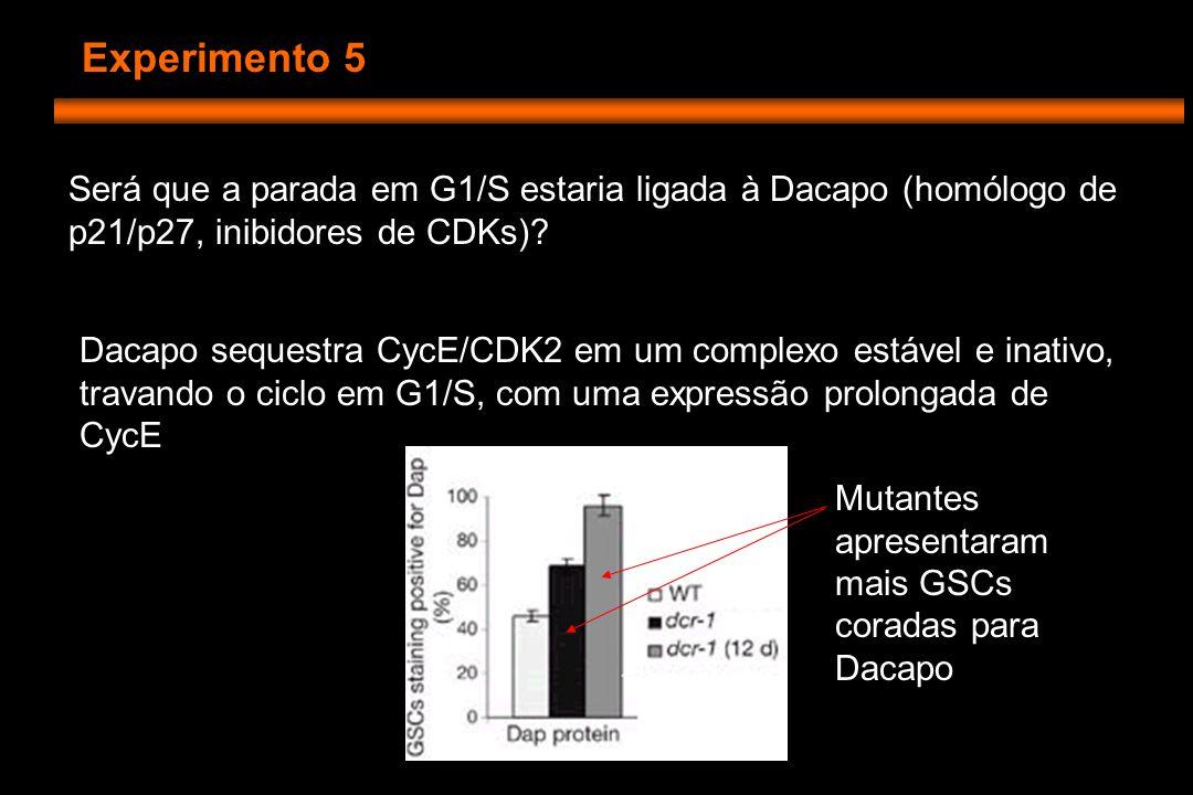 Experimento 5 Será que a parada em G1/S estaria ligada à Dacapo (homólogo de p21/p27, inibidores de CDKs).