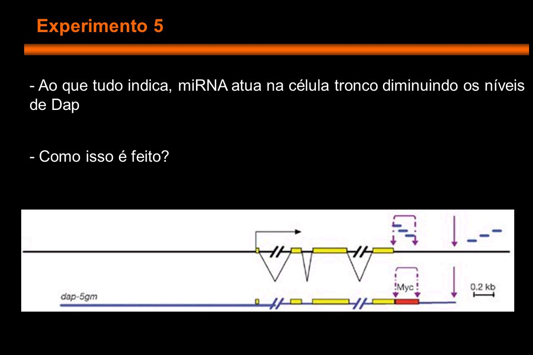 Experimento 5 - Ao que tudo indica, miRNA atua na célula tronco diminuindo os níveis de Dap - Como isso é feito
