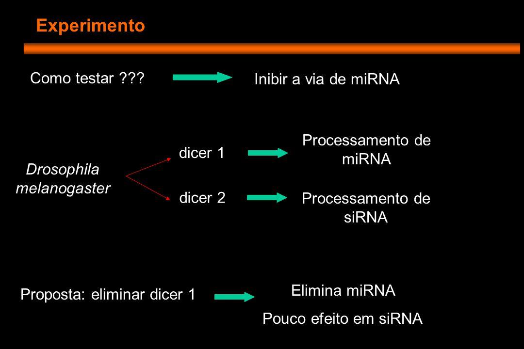 Experimento Células tronco da linhagem germinativa (GSC) -Se renovam -Divisões geram câmaras de células -Que se diferenciam em blastocistos Ovário de Drosophila
