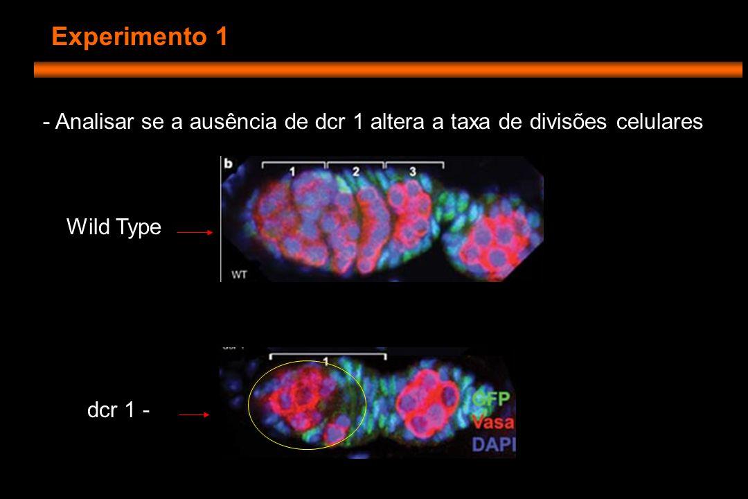 Experimento 1 - Analisar se a ausência de dcr 1 altera a taxa de divisões celulares Wild Type dcr 1 -