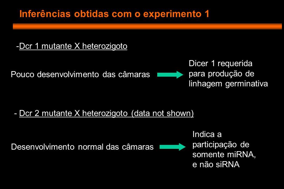 Experimento 3 dcr 1 - (sem GFP) Isso sugere que os mutantes estão parando a divisão na transição entre G1 e S