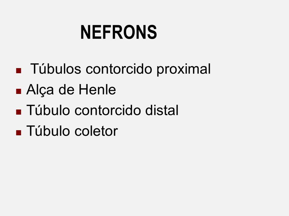 NEFRONS Túbulos contorcido proximal Alça de Henle Túbulo contorcido distal Túbulo coletor