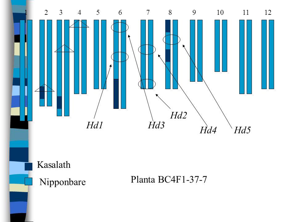 1 2 3 4 5 6 7 8 9 10 11 12 Hd1Hd3 Hd2 Hd4 Hd5 Kasalath Nipponbare Planta BC4F1-37-7