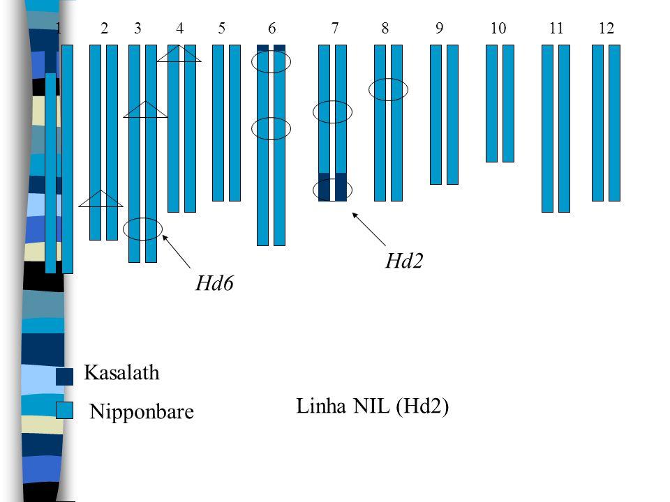 1 2 3 4 5 6 7 8 9 10 11 12 Hd6 Hd2 Kasalath Nipponbare Linha NIL (Hd2)