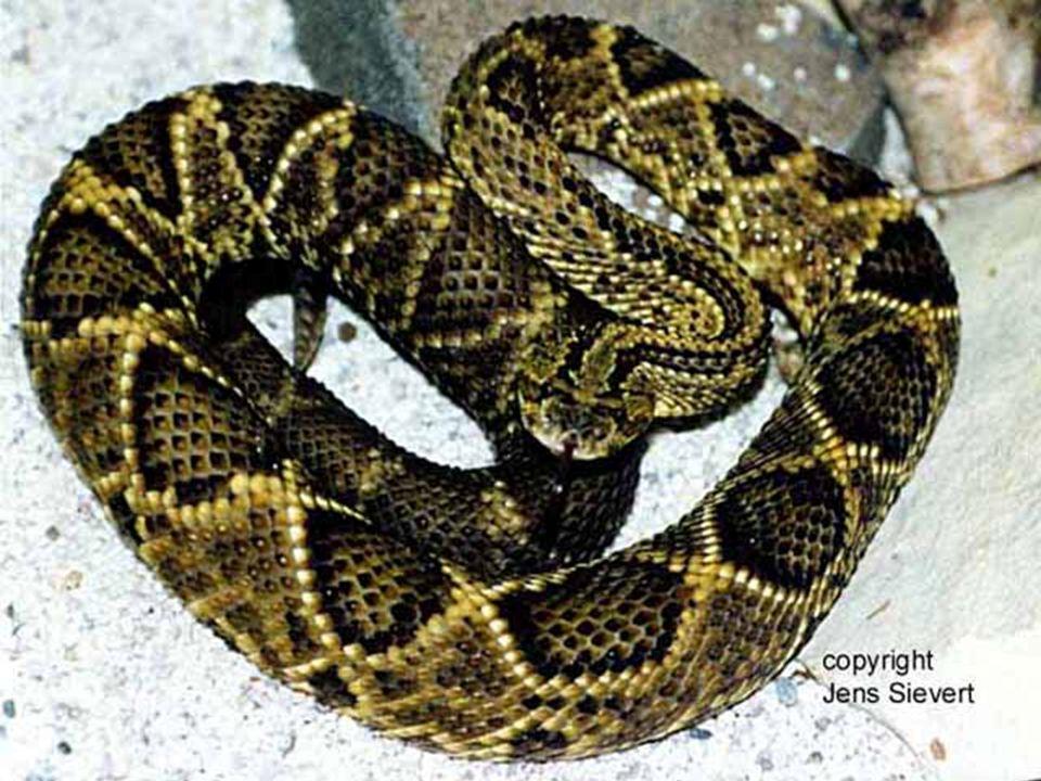 CROTALUS CASCAVELLA Encontra-se no Ceará de onde foi trazida para o R.J. Mede de 1 a 2 metros. O veneno foi retirado de uma cobra que media 2,50 m. A