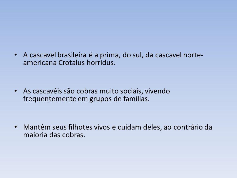 CROTALUS CASCAVELLA Encontra-se no Ceará de onde foi trazida para o R.J. Mede de 1 a 2 metros. O veneno foi retirado de uma que media 2,50 m.