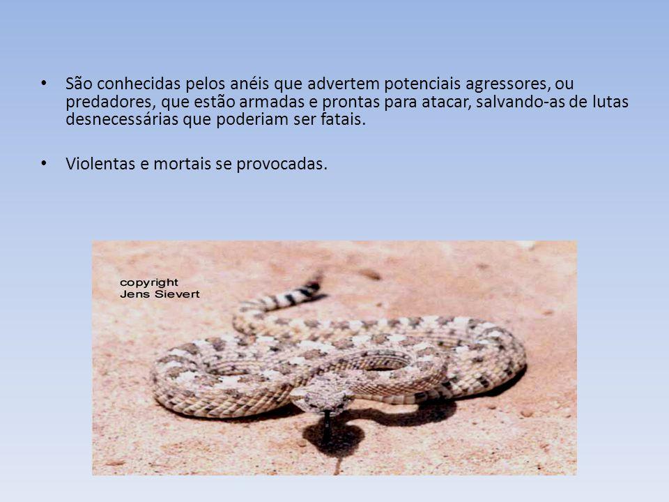 A cascavel brasileira é a prima, do sul, da cascavel norte- americana Crotalus horridus. As cascavéis são cobras muito sociais, vivendo frequentemente