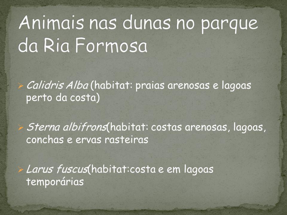  Calidris Alba (habitat: praias arenosas e lagoas perto da costa)  Sterna albifrons(habitat: costas arenosas, lagoas, conchas e ervas rasteiras  La
