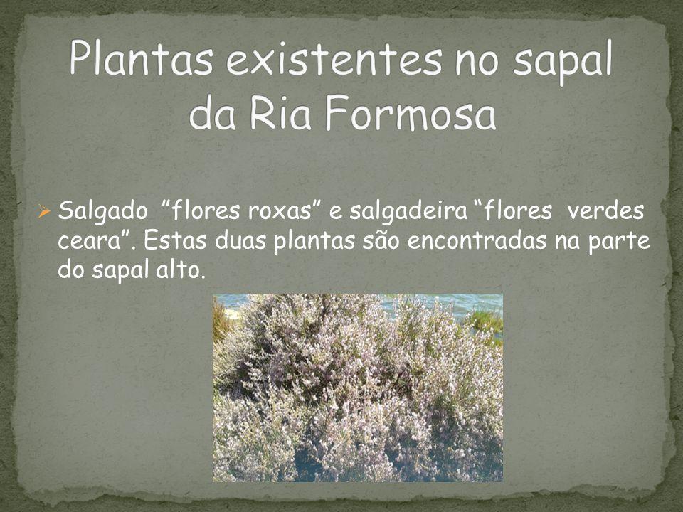 """ Salgado """"flores roxas"""" e salgadeira """"flores verdes ceara"""". Estas duas plantas são encontradas na parte do sapal alto."""