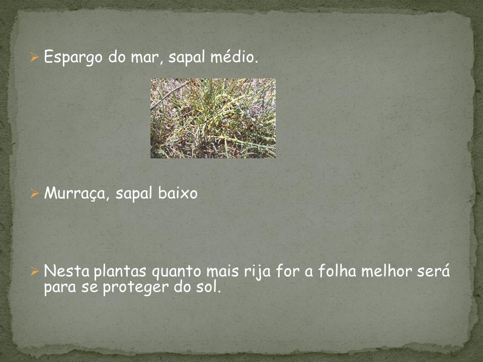  Espargo do mar, sapal médio.  Murraça, sapal baixo  Nesta plantas quanto mais rija for a folha melhor será para se proteger do sol.