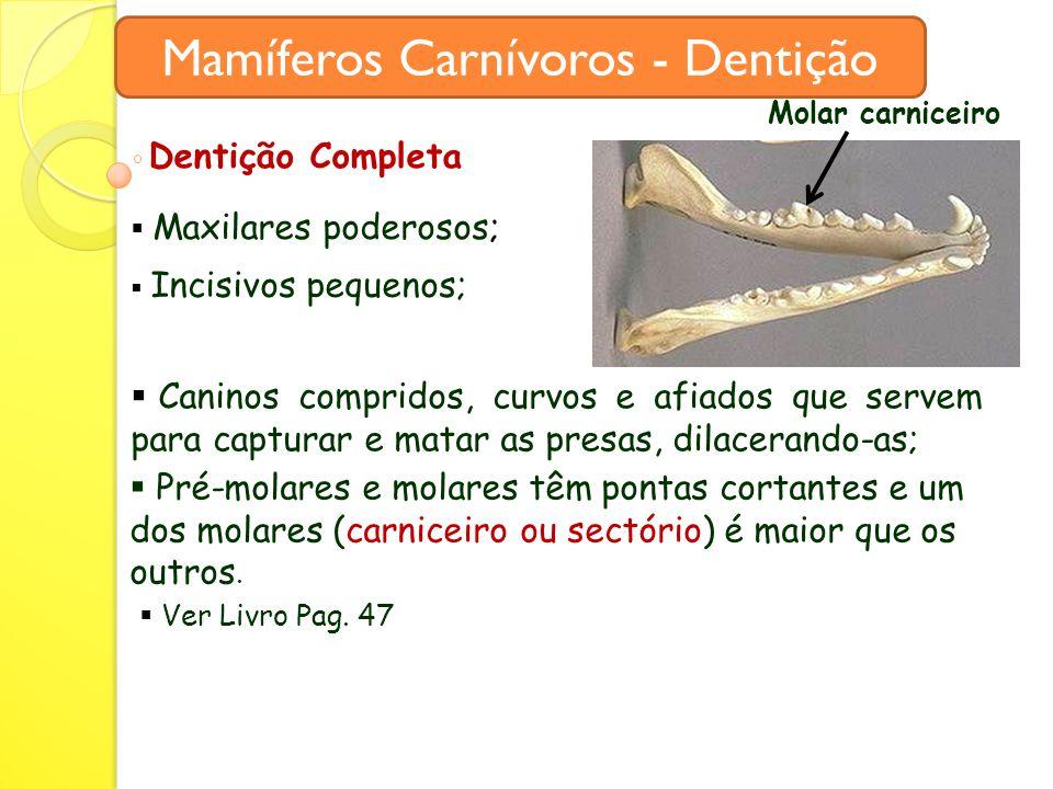 Mamíferos Carnívoros - Dentição Dentição Completa  Maxilares poderosos;  Incisivos pequenos;  Caninos compridos, curvos e afiados que servem para capturar e matar as presas, dilacerando-as;  Pré-molares e molares têm pontas cortantes e um dos molares (carniceiro ou sectório) é maior que os outros.
