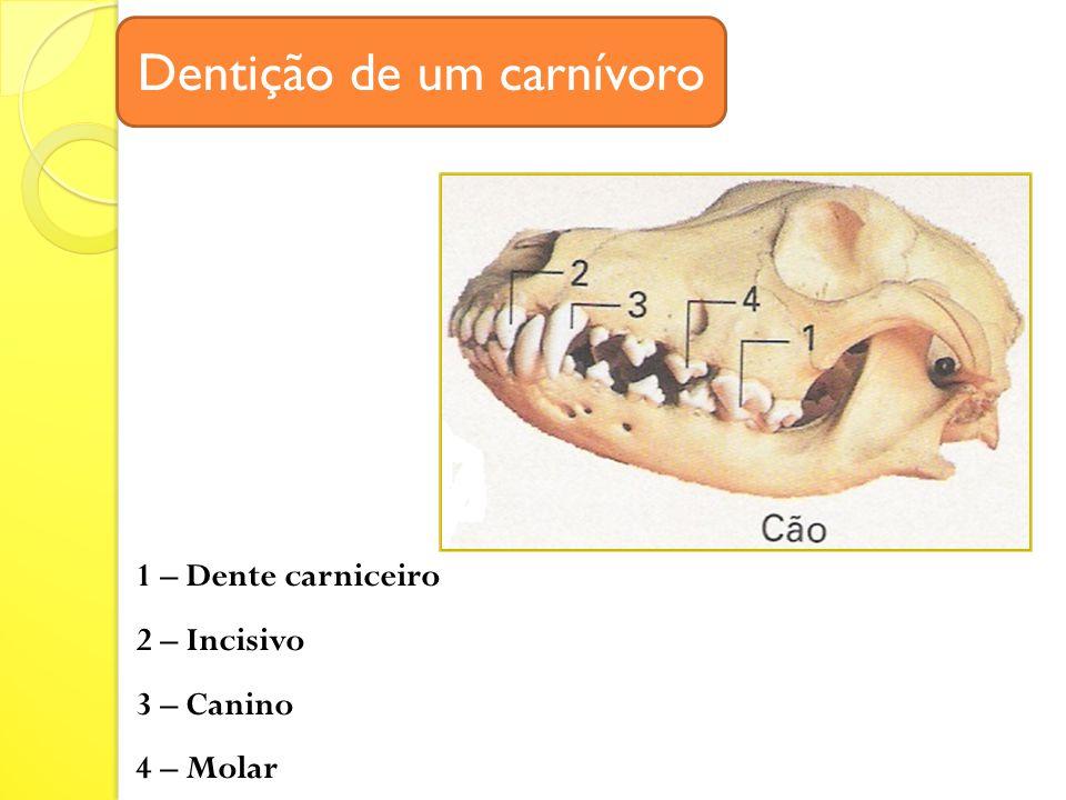 Dentição de um carnívoro 1 – Dente carniceiro 2 – Incisivo 3 – Canino 4 – Molar