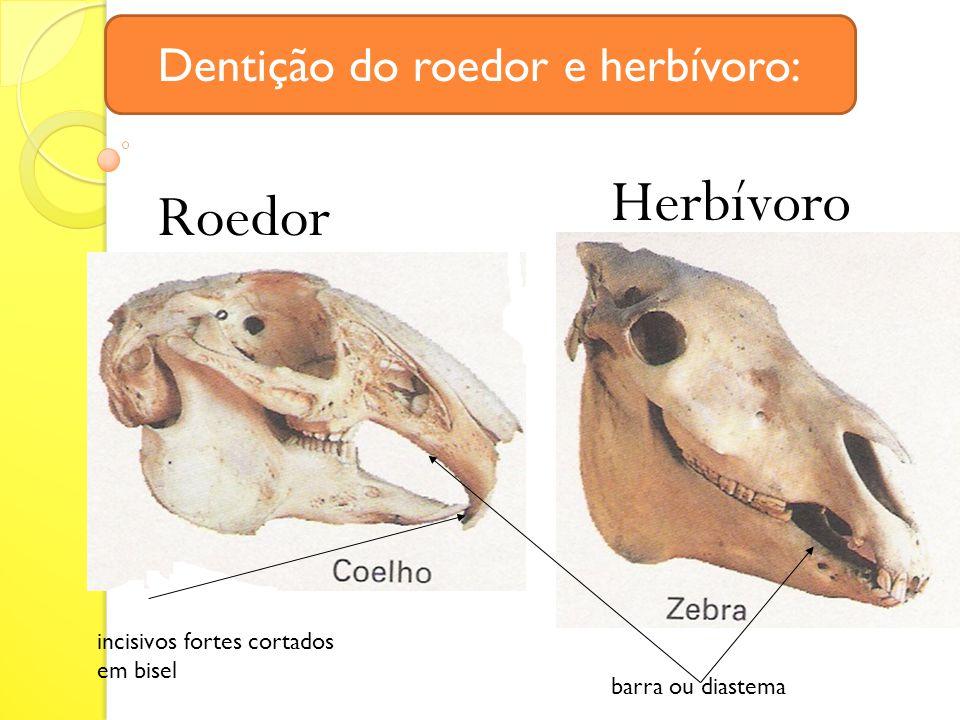 Roedor Herbívoro incisivos fortes cortados em bisel barra ou diastema Dentição do roedor e herbívoro: