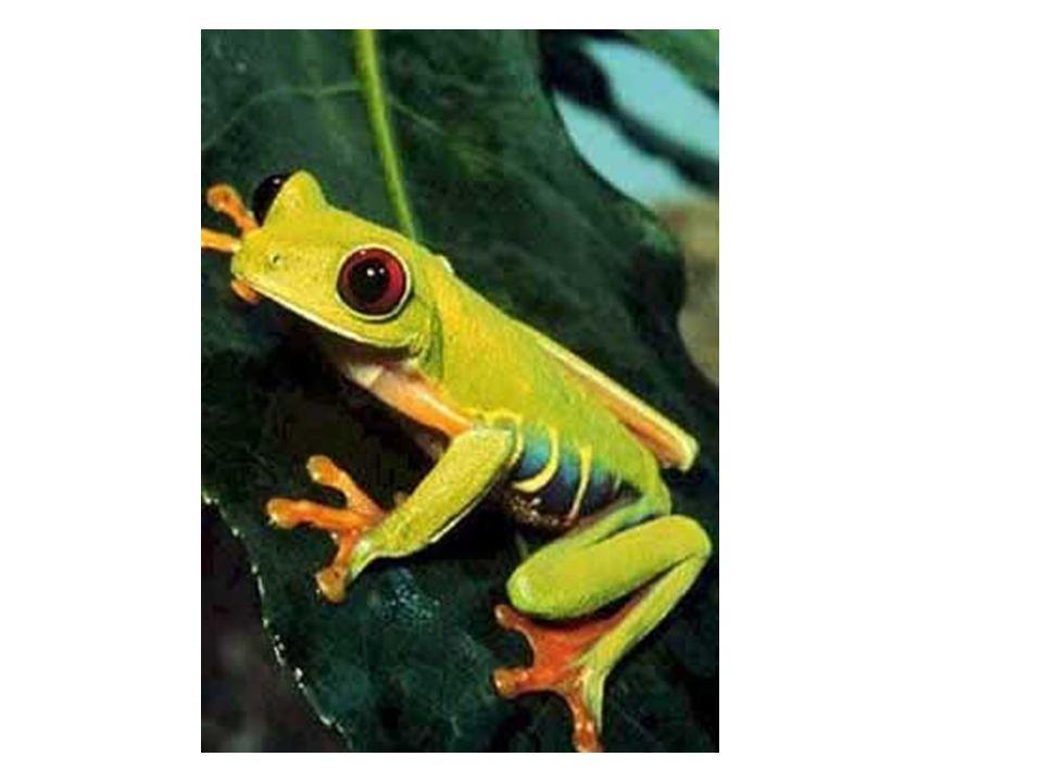 SISTEMA NERVOSO Encéfalo mais desenvolvido que o dos peixes; A maior parte das atividades é regulada pelo bulbo; Olhos com pálpebras;