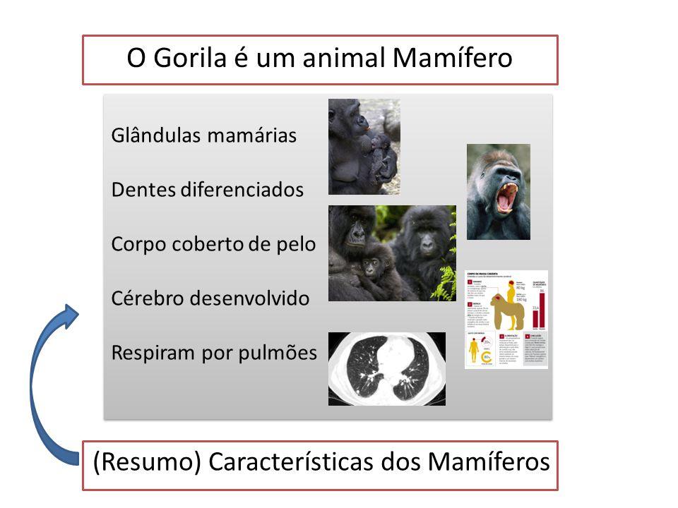 O Gorila é um animal Mamífero Características dos Mamíferos Respiram por pulmões Respiram por pulmões