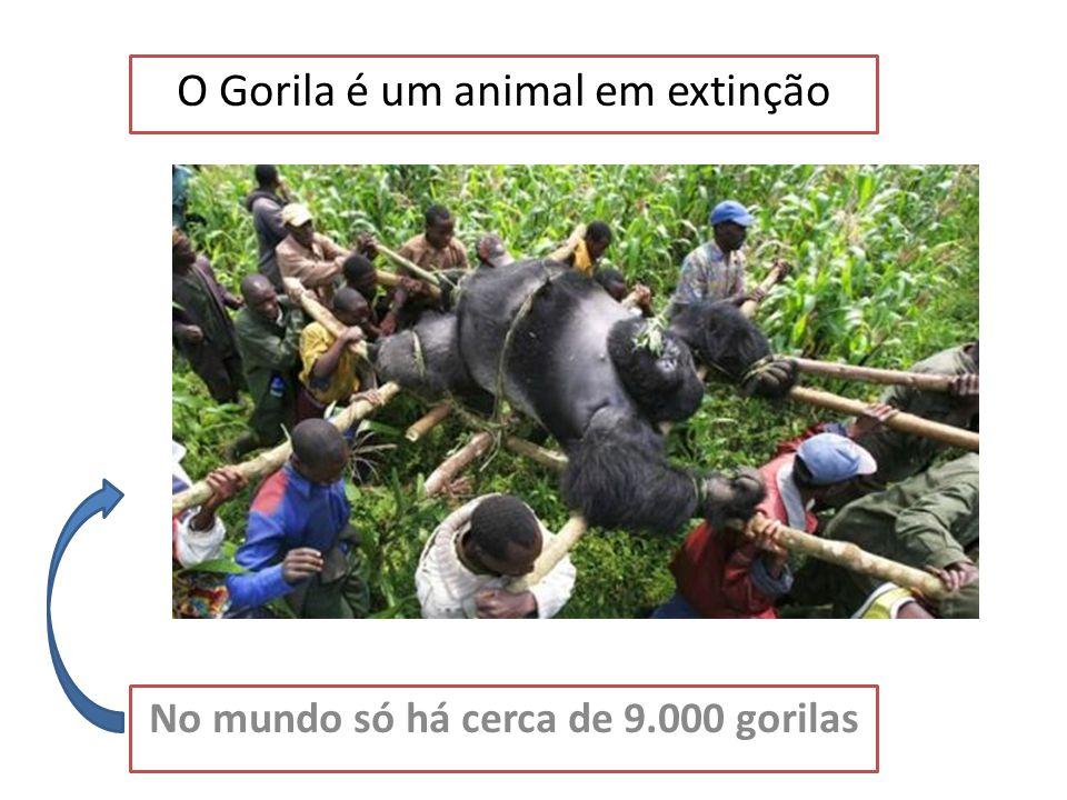 O Habitat do Gorila O gorila vive nas florestas tropicais ou nas montanhas em África. África Portugal