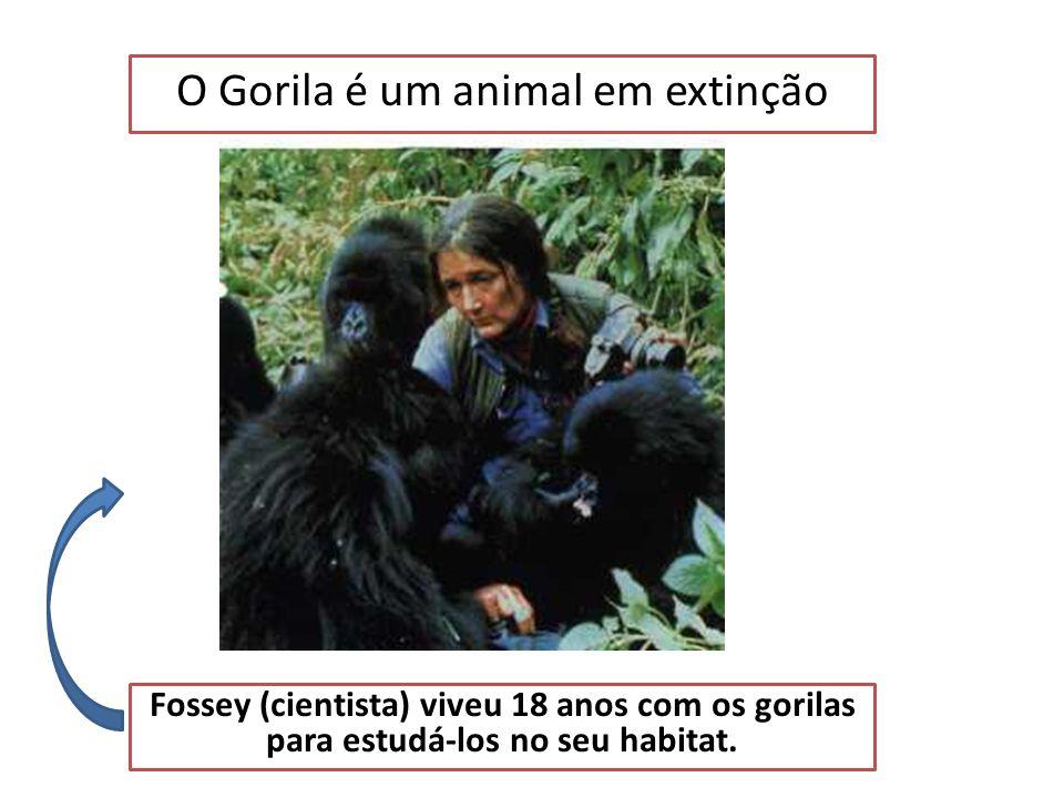 O Gorila é um animal em extinção É preciso fazer tudo para os salvar