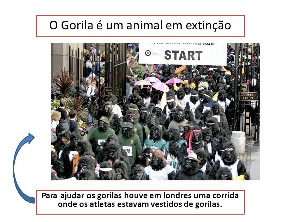 O Gorila é um animal em extinção Fossey (cientista) viveu 18 anos com os gorilas para estudá-los no seu habitat.