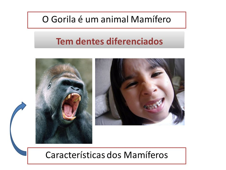 O Gorila é um animal Mamífero Características dos Mamíferos Tem glândulas mamárias Tem glândulas mamárias