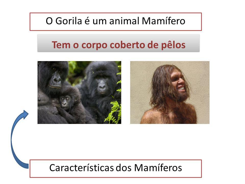 O Gorila é um animal Mamífero Características dos Mamíferos Tem dentes diferenciados Tem dentes diferenciados